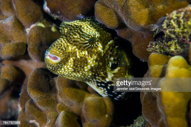 A map puffer blends with coral at dusk, Tioman Island, Malaysia.