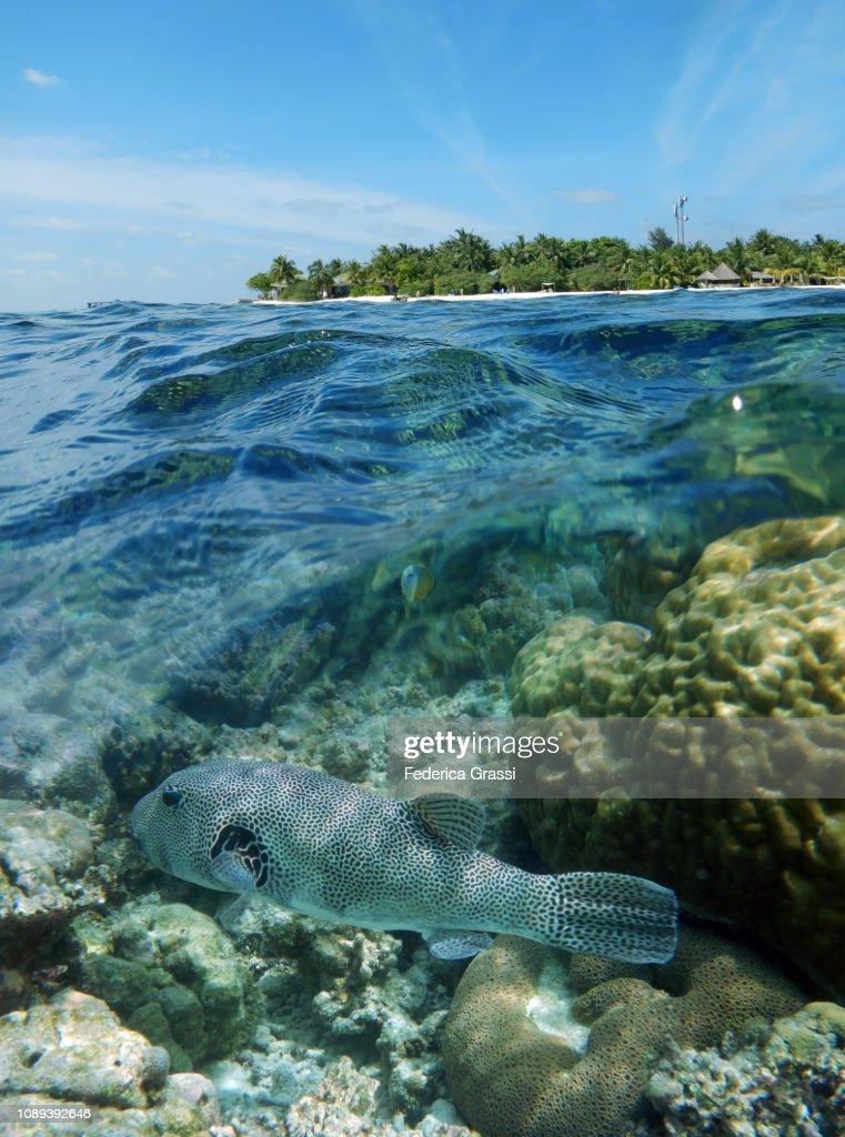 Map Puffer Fish And Maldivian White Sand Beach High Res