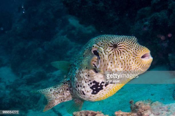 Map Puffer or Map Pufferfish (Arothron mappa), Indonesia