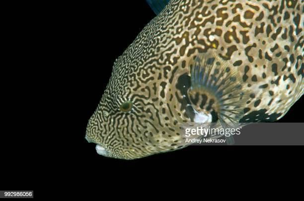 Map Pufferfish (Arothron mappa), Bohol Sea, Philippines