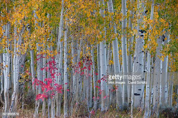 Maple and aspen trees in the national forest of the Wasatch mountains. White bark and slender tree trunks.