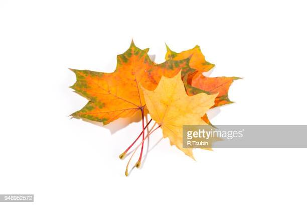 maple autumn leaves isolated on a white background