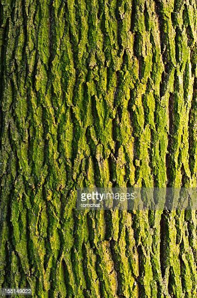 Textura da casca de Ácer