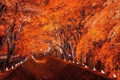 Maple Corridor at Kawaguchiko - gettyimageskorea