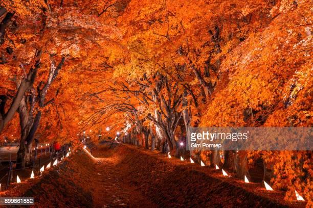 Maple Corridor at Kawaguchiko