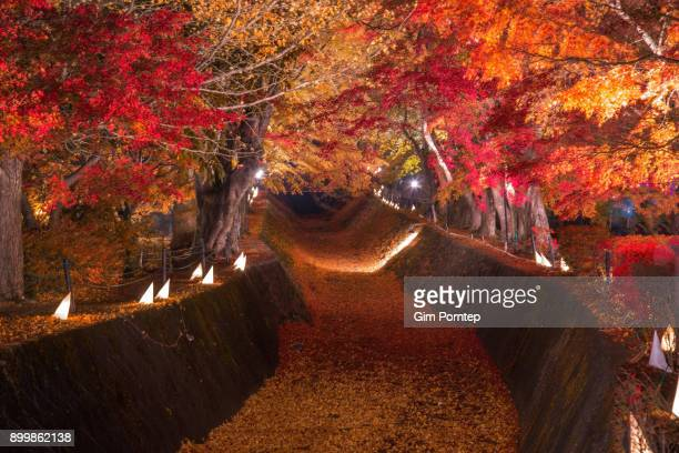 maple corridor in autumn - november background stock photos and pictures