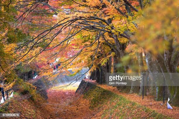 Maple corridor in autumn , yamanashi , japan