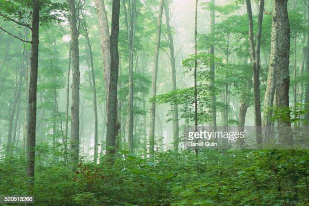Maple Forest and Fog