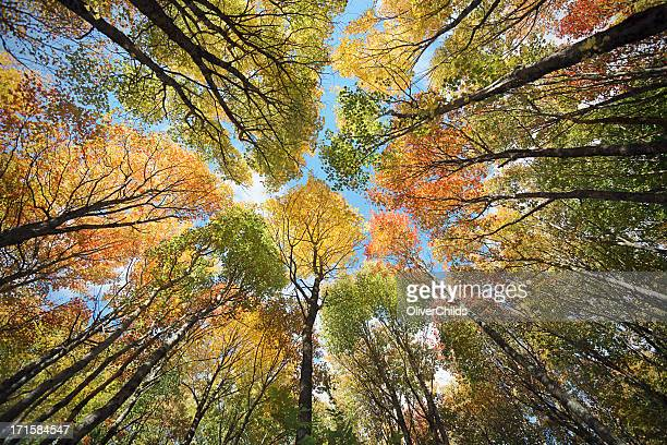 maple forest canopy, autumn. - maple tree stock pictures, royalty-free photos & images