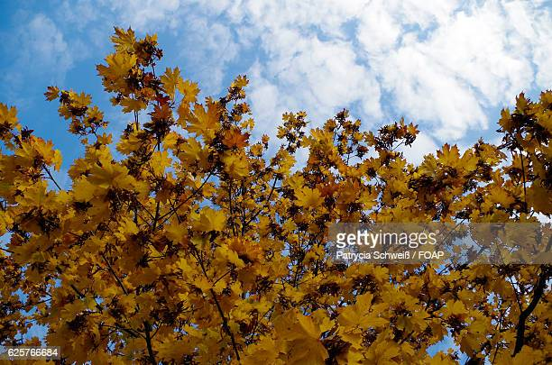 Maple leaf against sky during autumn