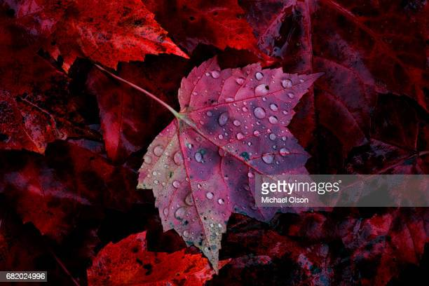 maple leaf and rain drops - autumn leaf color stock pictures, royalty-free photos & images