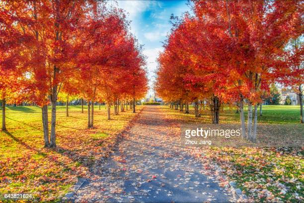 maple leaf avenue - boulevard stock pictures, royalty-free photos & images