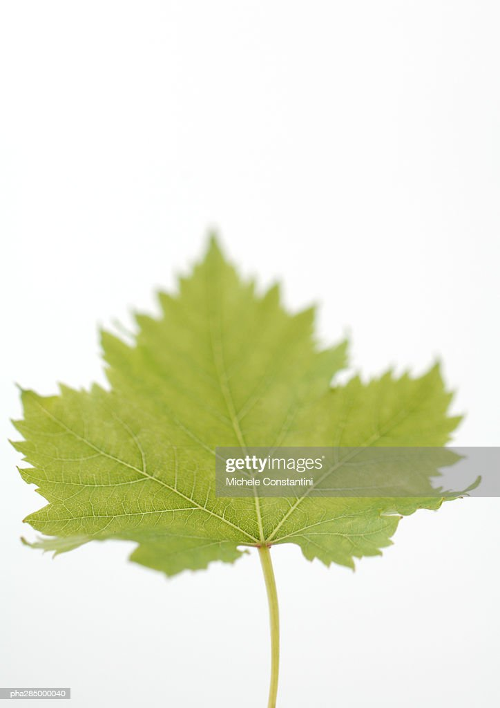 Maple leaf, close-up : Stock Photo