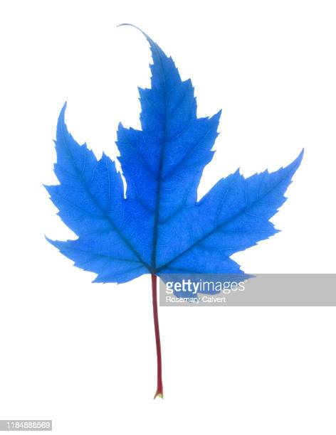 maple leaf, colour manipulated, on white. - digital enhancement stock pictures, royalty-free photos & images