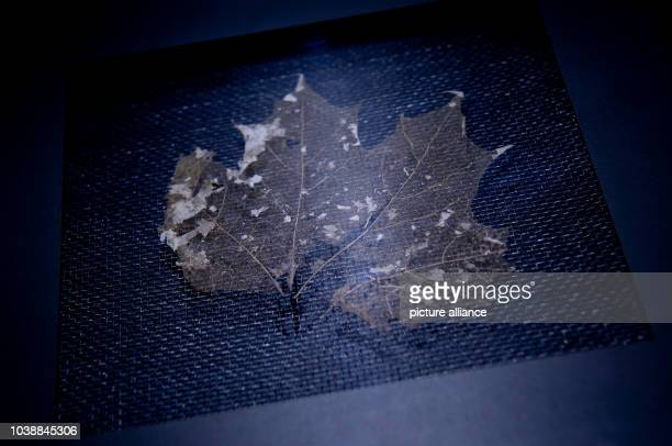 A maple leaf dating back to 3350 BC that was found amongst the belongings of Oetzi the Iceman is on display as part of the exhibition Oetzi 20 at the...