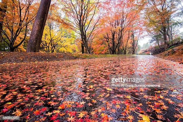 Maple leaf fall on the ground after rain in japan