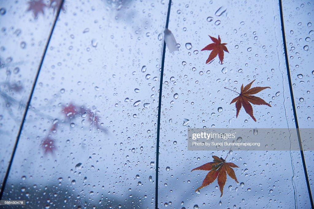 Maple Leaf fall on the umbrella : Stock Photo