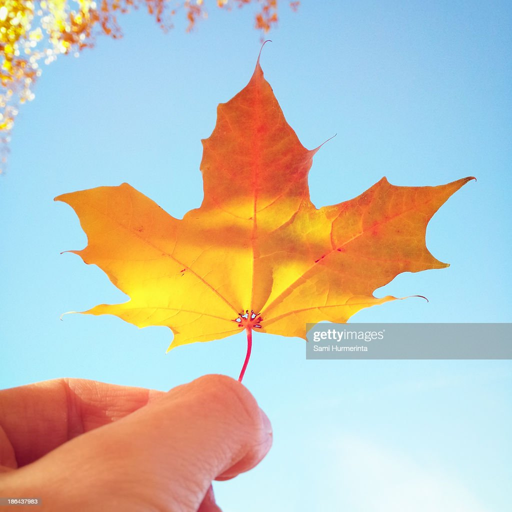 A maple leaf held against the sky : Stock Photo