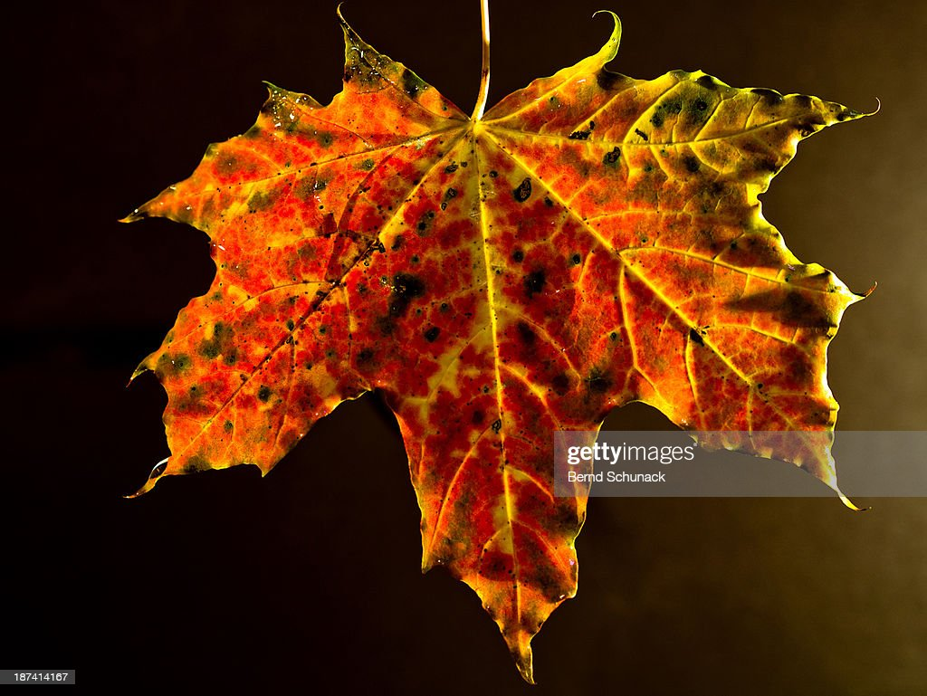 Maple Leaf in Autumnal Colouring : ストックフォト