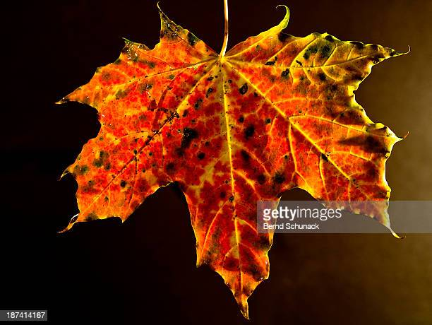 maple leaf in autumnal colouring - bernd schunack stockfoto's en -beelden