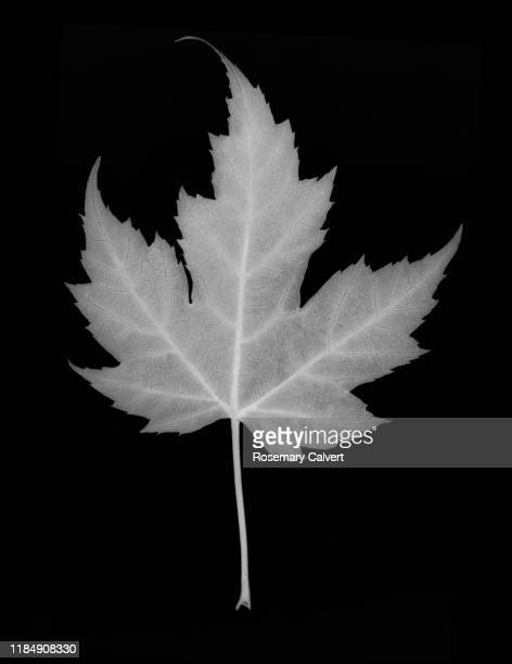 maple leaf in black & white on black. - digital enhancement stock pictures, royalty-free photos & images
