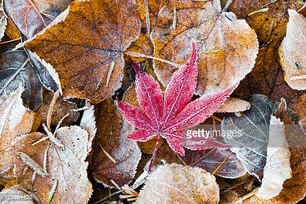 Maple leaf in frost