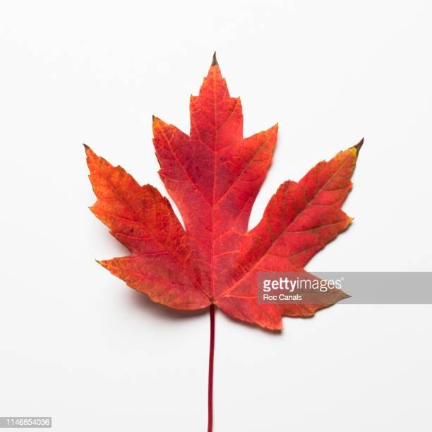 maple leaf - esdoornblad stockfoto's en -beelden