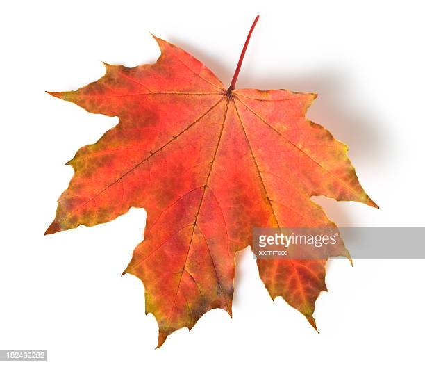 60 Top Maple Leaf Pictures, Photos, & Images - Getty Images