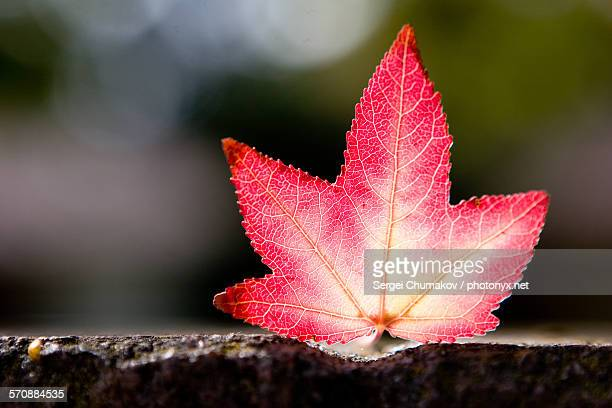 maple leaf - sergei stock pictures, royalty-free photos & images