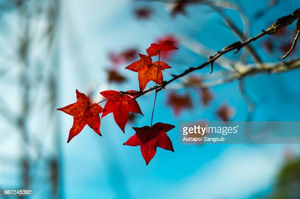 maple leaf - maple tree stock pictures, royalty-free photos & images