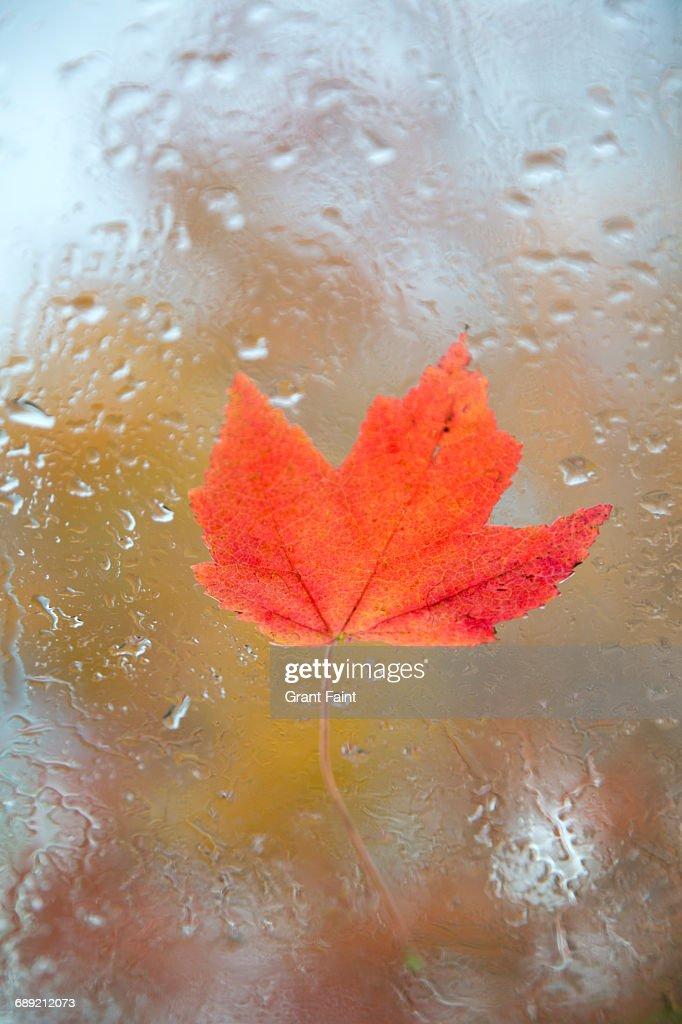 Maple leaf. : Stock Photo