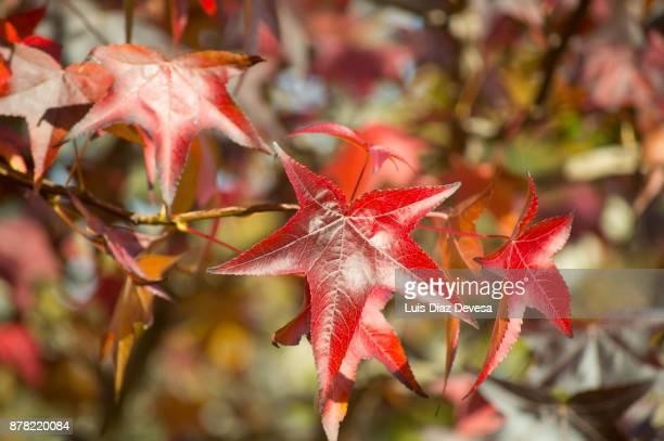 maple leaf - novembro azul - fotografias e filmes do acervo
