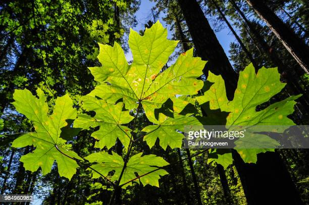 maple leaf - hoogeveen stock pictures, royalty-free photos & images