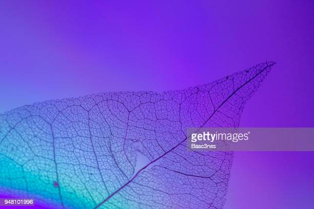 maple leaf skeleton on colorful background - 繊細 ストックフォトと画像