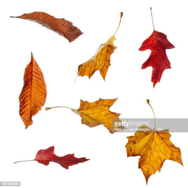 maple leaves against white background - herfst stockfoto's en -beelden