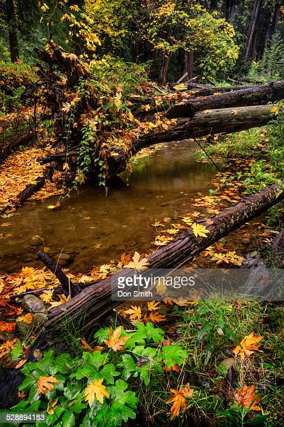 maple leaves and aptos creek - don smith stock pictures, royalty-free photos & images