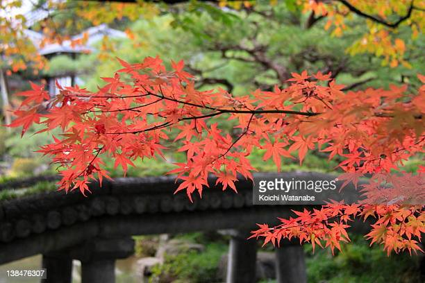 Maple leaves and bridge