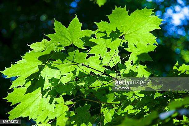 Maple leaves and sunlight