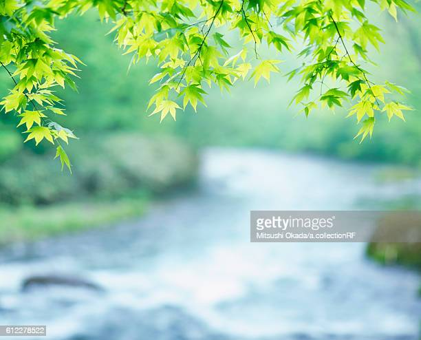 Maple leaves by Oirase Stream in morning light