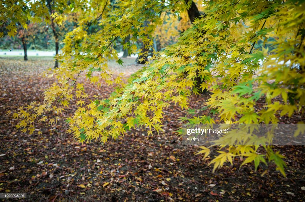 Maple leaves collection II in Kyoto, Japan : Stock Photo