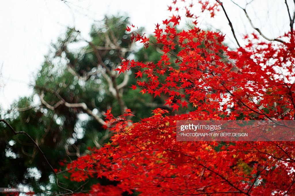 Maple leaves in autumn : Foto stock