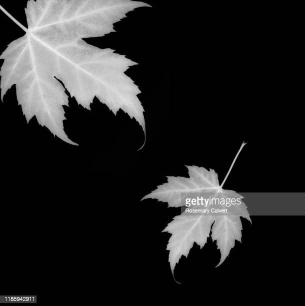 black white maple leaves black background