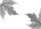 black white maple leaves white background