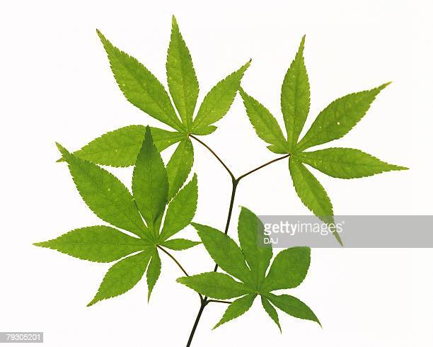 Maple Leaves on Branch, High Angle View, Close Up