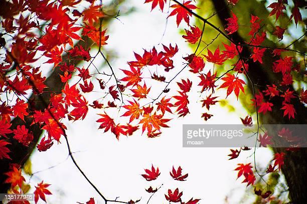 maple leaves on tree - mutsu imagens e fotografias de stock
