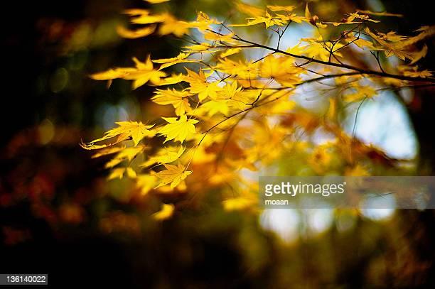 maple leaves - mutsu imagens e fotografias de stock