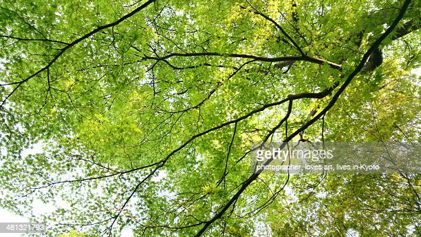Maple of a bright green leaf