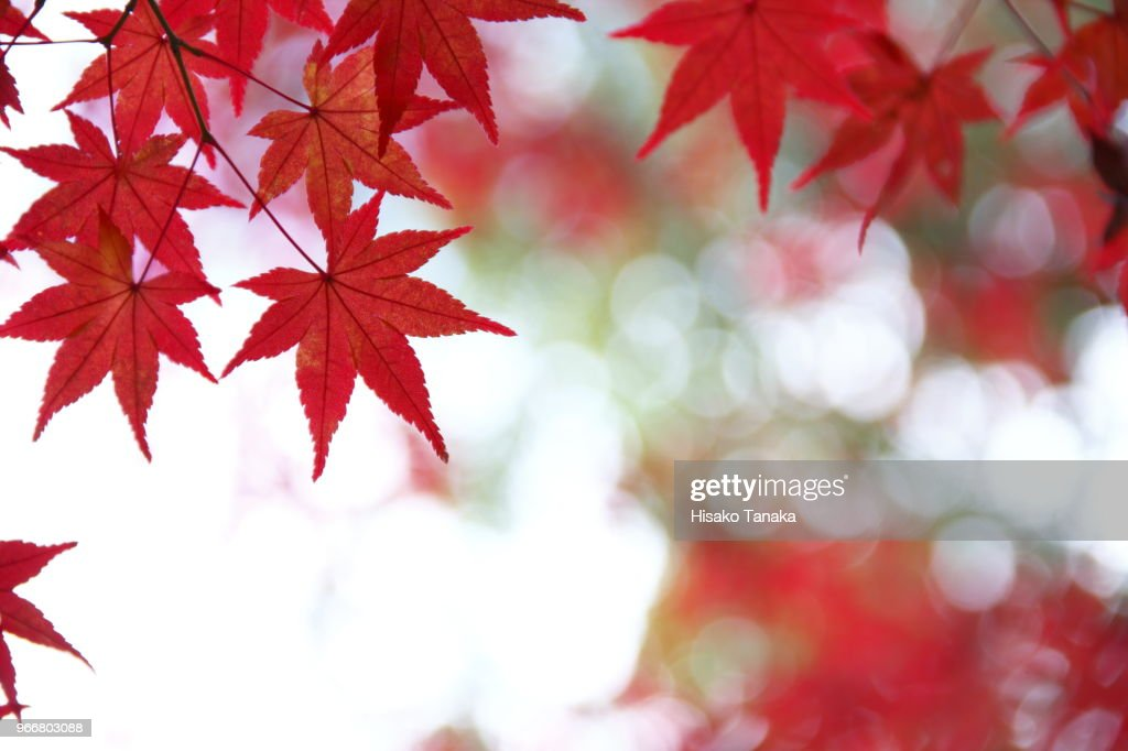 maple of autumn leaf color : Stock Photo