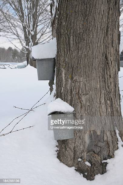 A maple sap bucket sits covered with snow during maple sugaring season in Waitsfield Vermont