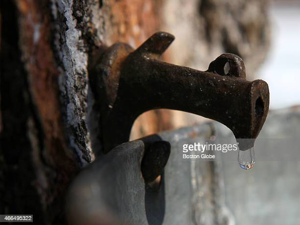 Maple sap came to a screeching halt after two warmer days with the sap running now it is just a drip and three weeks behind schedule for Ernest...